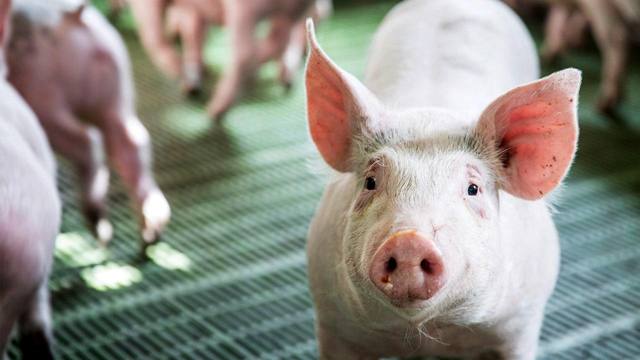 Генетична компанія - розведення свиней